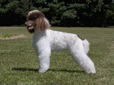 Standard Poodle Standing in a Yard  MR