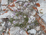 King's Compact Sandwort (Arenaria Kingii Compacta)