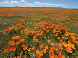 California Poppy (Eschscholzia Californica)  Antelope Valley Poppy Reserve Near Lancaster