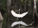 Great Egret (Ardea Alba) in Big Cypress Swamp  Everglades  Florida  USA