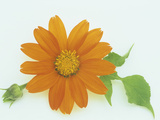 Torch Variety Tithonia Flower