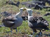 Waved Albatross (Phoebastria Irrorata)  Galapagos Islands  Ecuador