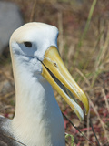 Waved Albatross (Phoebastria Irrorata)  Galapagos Islands  Ecuador