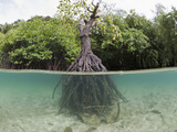 Split Image of a Large Mangrove and its Extensive Prop Root System  Risong Bay  Micronesia  Palau
