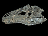 Allosaurus Dinosaur Skull from Big Horn County