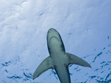 Oceanic Whitetip Shark  (Carcharhinus Longimanus) Brother Islands  Red Sea  Egypt