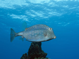 Honeycomb Cowfish (Lactophrys Polygonia)  Cozumel  Caribbean Sea  Mexico