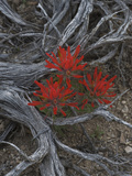 Desert Paintbrush (Castilleja Chromosa)  Great Basin National Park  Nevada