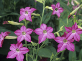 Sensation Variety Nicotiana Flowers on a Growing Plant