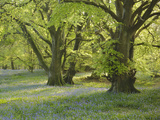 gary-cook-meadow-of-bluebell-flowers-endymion-non-scriptus-on-the-forest-floor-under-beech-trees.jpg