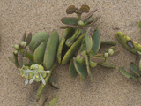 Dollar Bush (Zygophyllum Stapffii)  Namib-Naukluft National Park  Namibia  Family Zygophyllaceae
