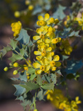 Fremont&#39;s Mahonia (Mahonia Fremontii)  Capitol Reef National Park  Utah  USA