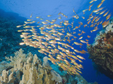 School of Sweeper Fish (Parapriacanthus) Daedalus Reef  Red Sea  Egypt