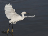Snowy Egret Taking Off from Water