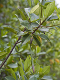 Red Mangrove (Rhizophora Mangle) Elizabeth Bay  Isabelisland  Albermarle Island  Galapagos