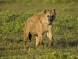 Spotted Hyena on the Savanna  Crocuta Crocuta  Serengeti National Park  Tanzania  Africa