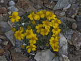 Stemless Mock Goldenweed (Stenotus Acaulis)  Ancient Bristlecone Pine Forest  Inyo National Forest