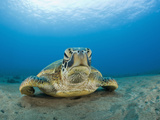 Green Sea Turtle (Chelonia Mydas)  Maui  Hawaii  USA