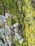 Lichen and Moss on Tree Bark
