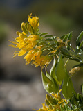 Bladderpod (Isomeris Arborea)  Joshua Tree National Park  California  Mojave Desert  USA