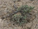Low Sagebrush (Artemisia Arbuscula)  Great Basin National Park  Great Basin Desert  Nevada