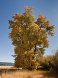 Black Cottonwood or Balsam Poplar in Autumn Color (Populus Balsamifera Trichocarpa)  Chester