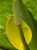Skunk Cabbage (Lysichiton Americanum)