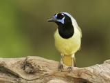 Green Jay (Cyanocorax Yncas)  North America