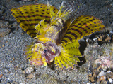 A Rare Yellow Variation of the Shortfin Lionfish (Dendrochirus Brachypterus)