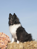 Shetland Sheepdog Sitting on a Straw Bale