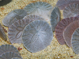Sand Dollars in the Sandy Ocean Floor (Dendraster Excentricus)  California  USA