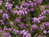 Bell Heather (Erica Cinerea)  Scotland  UK