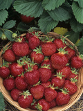 Strawberry (Cavendish Variety) Harvest in a Basket