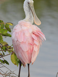 Roseate Spoonbill (Ajaia Ajaja) in Black Mangroves  Coastal Wetlands