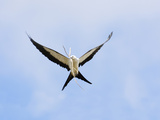 Swallow-Tailed Kite (Elanoides Forficatus) in Flight with Nesting Material in its Bill