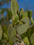 Jojoba (Simmondsia Chinensis)  Joshua Tree National Park  California  Mojave Desert  USA