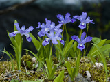 Dwarf Crested Iris (Iris Cristata)  Great Smoky Mountains National Park  Tennessee