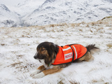 A Sarda or Search and Rescue Dog Association Dog