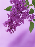 Lilac Flowers (Syringa X Hyacinthiflora)  Asessippi Variety