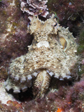 Common Octopus (Octopus Vulgaris)  Tamariu  Costa Brava  Mediterranean Sea  Spain