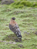 Red-Backed Hawk (Buteo Polyosoma)  Antisana Ecological Reserve  Ecuador