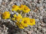 Woolly Daisy (Eriophyllum Wallacei)  Joshua Tree National Park  Mojave Desert  California  USA