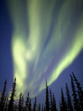 Aurora Borealis over Silhouetted Spruce Trees  Alaska  USA