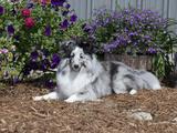 Shetland Sheepdog Sitting in a Garden  MR D2748