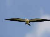 Swallow-Tailed Kite Flying and Hunting (Elanoides Forficatus)