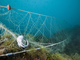 Fish Caught in a Lost Fishing Net over Reef  Cap De Creus  Costa Brava  Spain