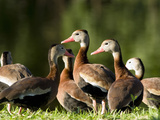 Black-Bellied Whistling-Duck Flock (Dendrocygna Autumnalis) on a Pond Shoreline  Florida  USA