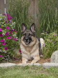 German Shepherd Dog  Lying in Garden