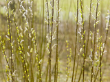 Close Up of Willow Stems and Flowers