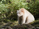 Kermode or Spirit Bear Variety of Black Bear (Ursus Americanus Kermodei) Watching for Salmon